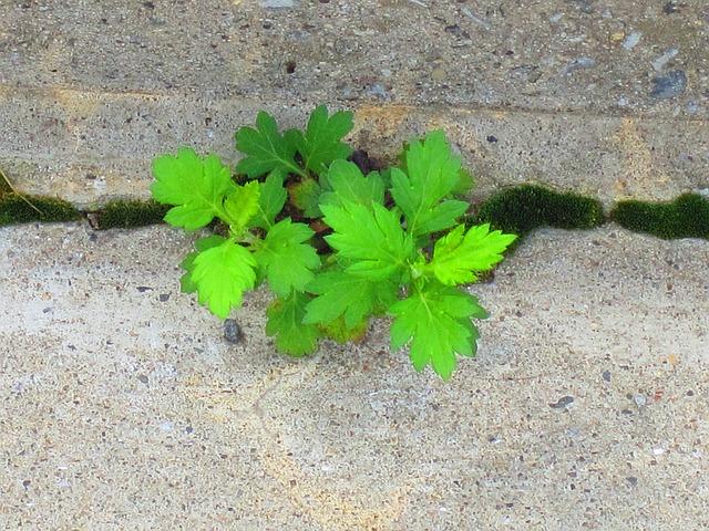 plevel v chodníku