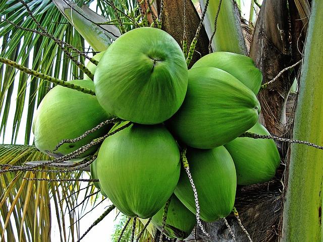 zelené kokosové ořechy.jpg