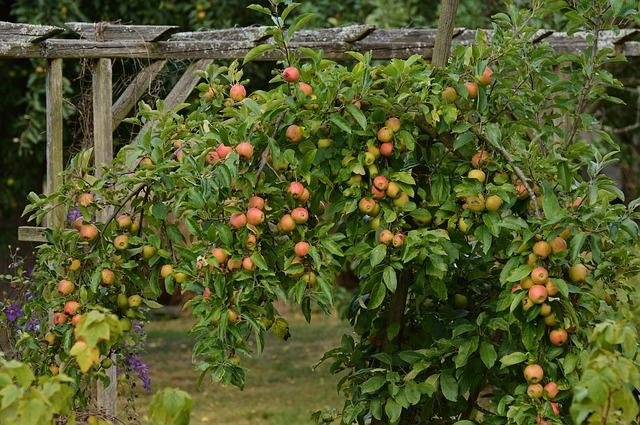 košatá jabloň
